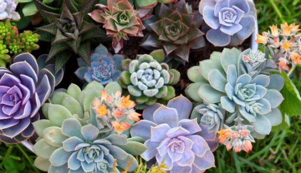 Не кактус и не алоэ. 10 необычных суккулентов для вашего сада