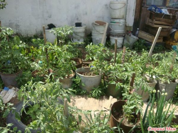 Томаты выращиваю в ведрах
