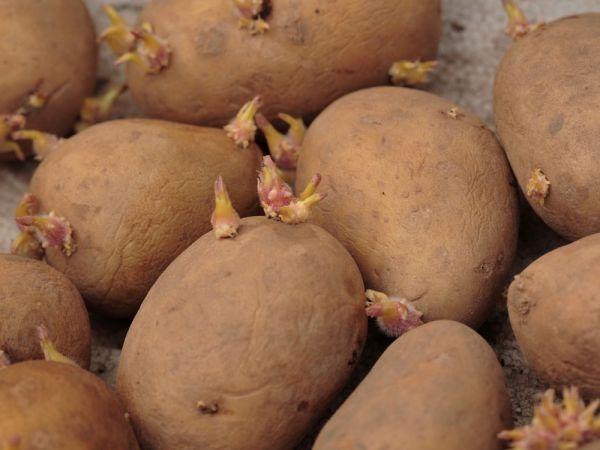 8 секретов хорошего урожая картофеля