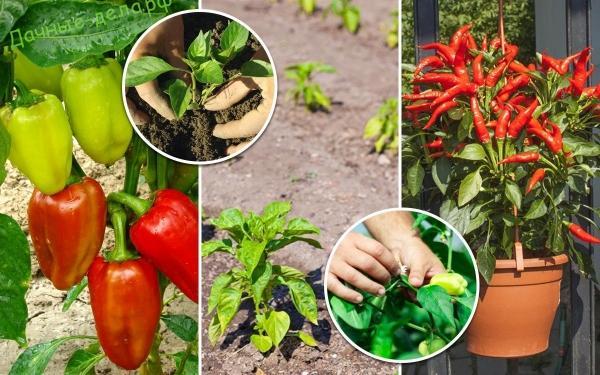 Секреты выращивания болгарского перца 91