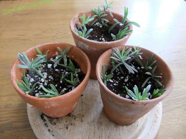 Семена лаванды в домашних условиях 611
