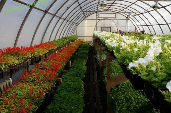 Теплицы для выращивания петунии 8