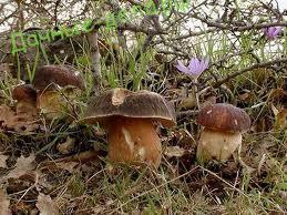 Какие есть грибы в сосновых лесах?