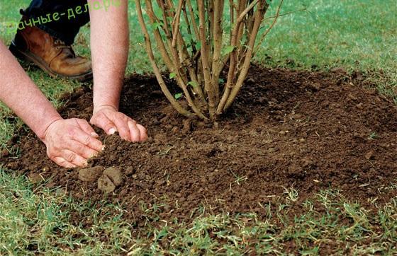 Когда лучше сажать бирючину весной или осенью 67
