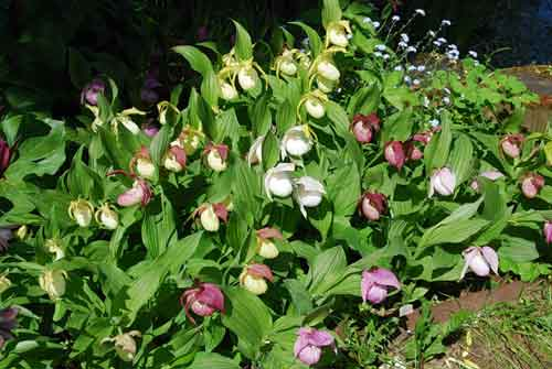 Шарм и очарование садовой орхидеи