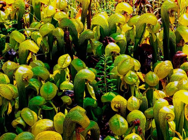 Хищное растение дарлингтония