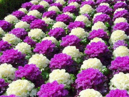 Садовые цветы многолетние низкорослые