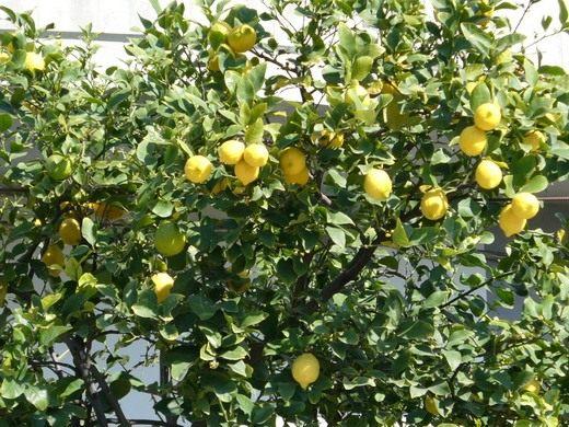 Лимон — простуде заслон!
