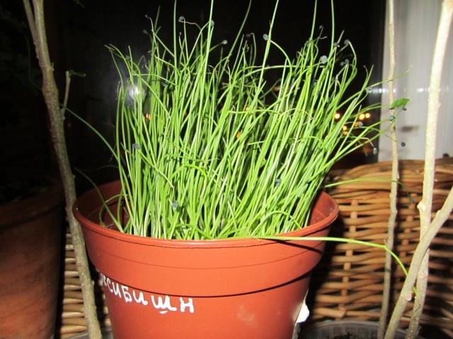 Все о выращивание зеленого лука из семян 60