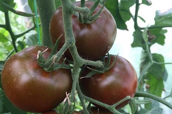 Описание сорта томата Сашер, его характеристика и выращивание