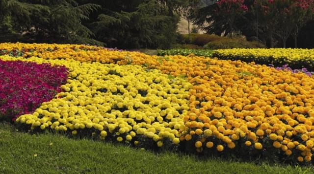 Антигуа бархатцы выращивание 50